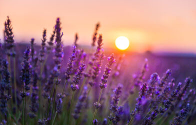 Lavender flowers in sunset