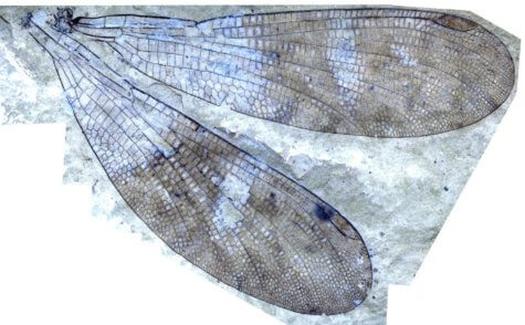 insect wing fossil