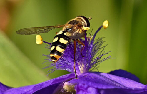 syrphid fly bee impersonator
