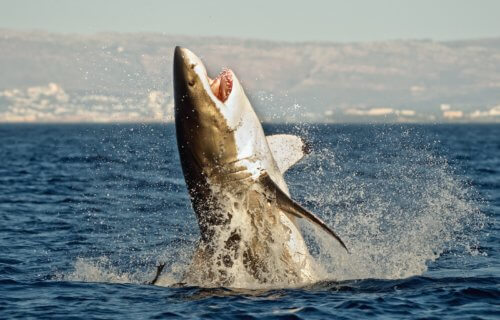 Great white shark leaping out of water