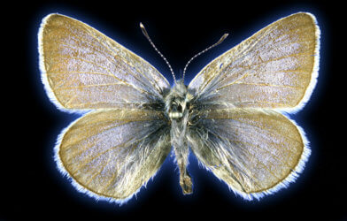 Xerces blue butterfly