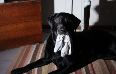 Dog with socks in its mouth
