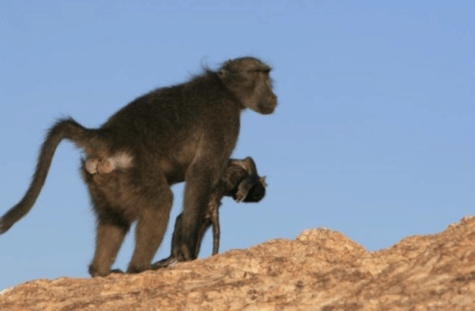Baboon carries infant's corpse