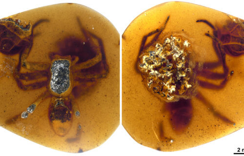 Spider preserved in amber